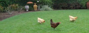 chickens_lawn_ticks_natural