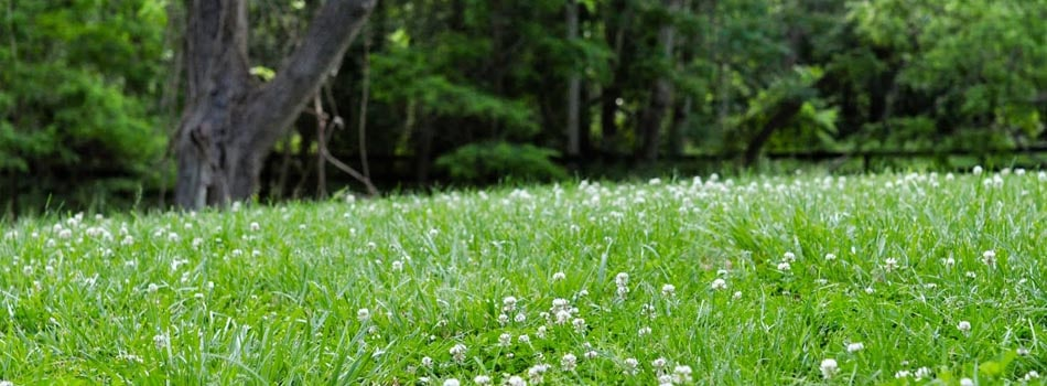 clover_lawn_ground_cover