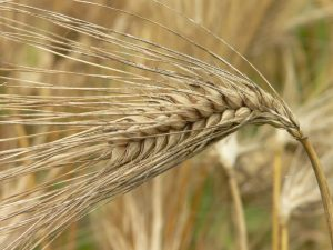 Barley requires 237 gallons of water per every pound grown