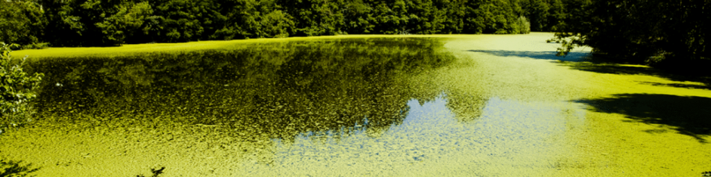 harmful algal blooms covering a body of water
